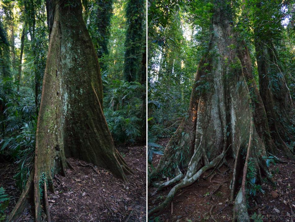Huge buttress roots at the base of the rainforest trees in Dorrigo