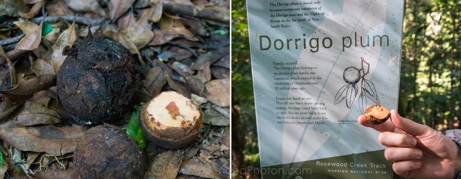 Dorrigo plum fruits with the sign at Rosewood Creek track