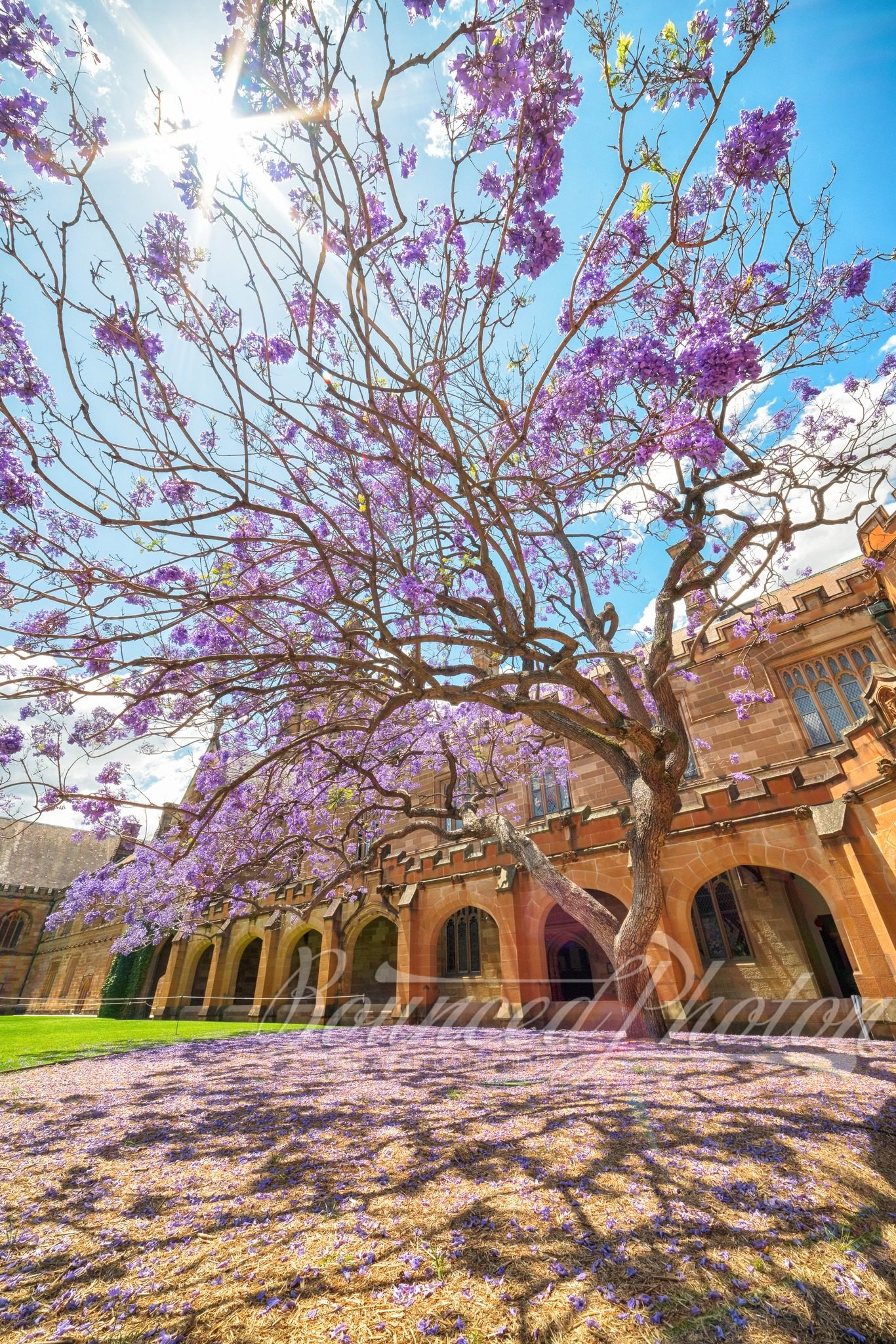 Jacaranda at the University of Sydney Quadrangle