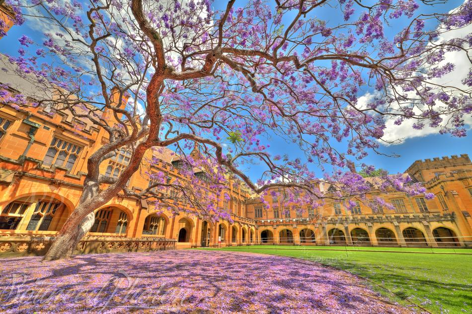 Jacaranda at the University of Sydney