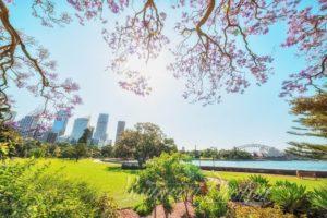Jacaranda in Royal Botanic Garden, Sydney, Australia