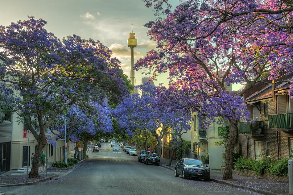 Jacarandas in Bloom on Cathedral Street, Woolloomooloo, Sydney, Australia