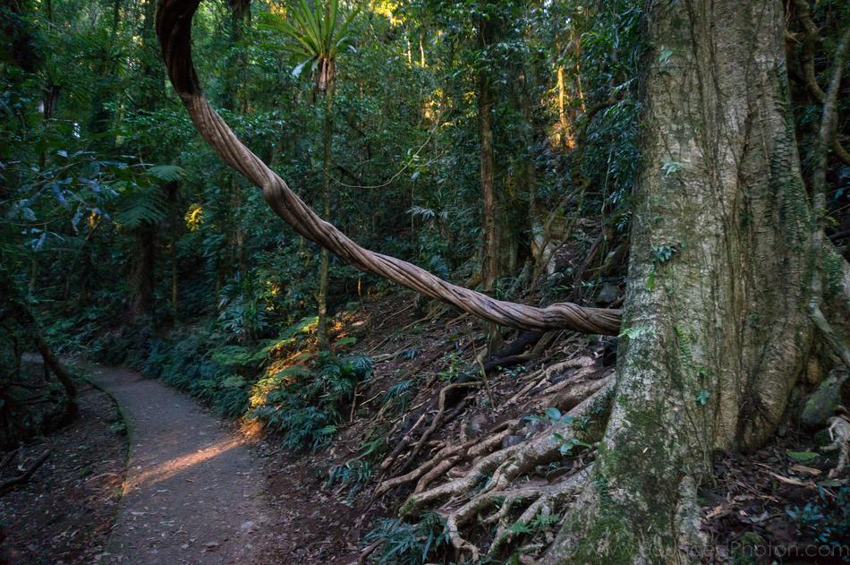 Big liana overhanging Lyrebird Link track