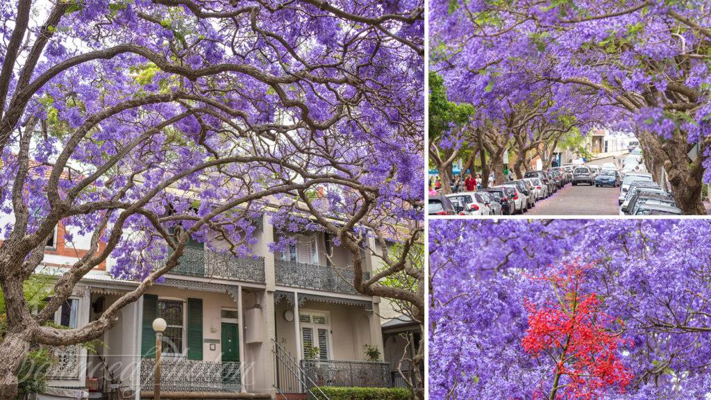 Top 5 Sydney Jacaranda Photospots - McDougall Street