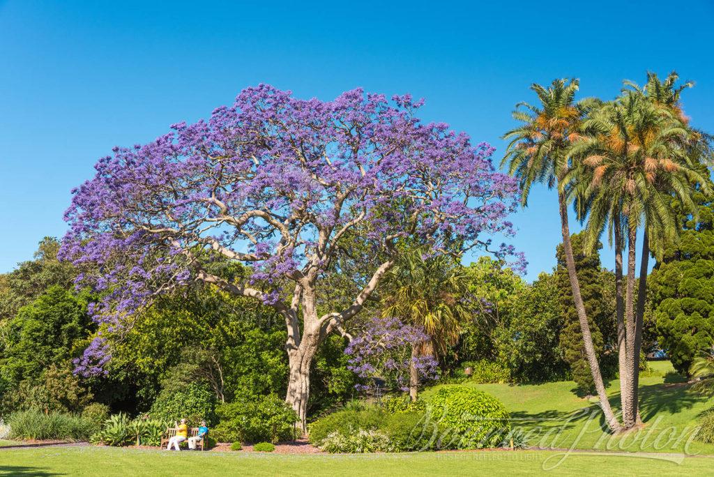 Top 5 Sydney Jacaranda Photospots - Royal Botanic Garden