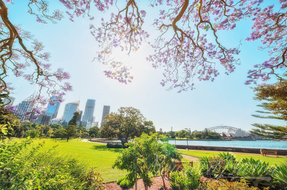 Top 5 Sydney Jacaranda Photospots