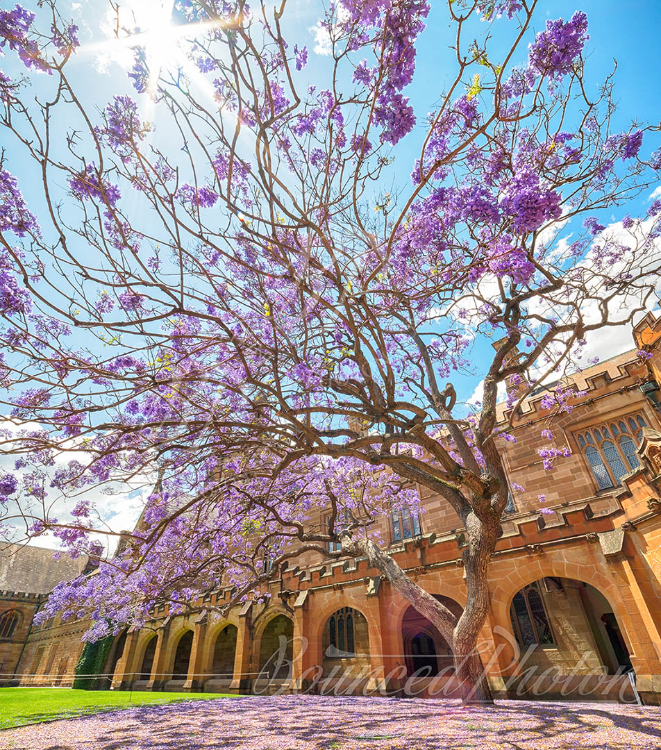 Top 5 Sydney Jacaranda Photospots - University Of Sydney Quadrangle