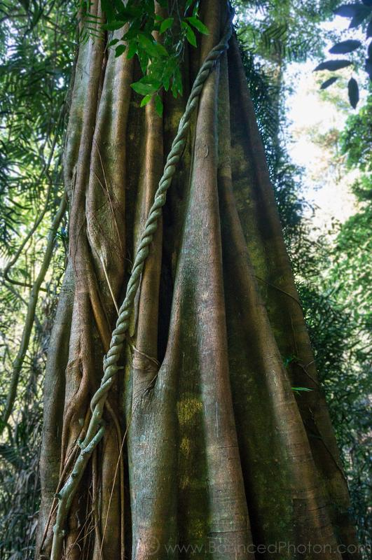 Twisted vine going up the big sculptured trunk in Dorrigo National Park